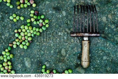 high angle view of a comb-like tool used to collect the arbequina olives in Catalonia, Spain, on a net next to some freshly collected olives