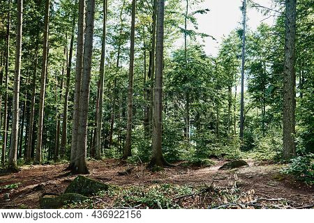 Beautiful Forest Landscape With Green Trees In Summer Day, Nature Background