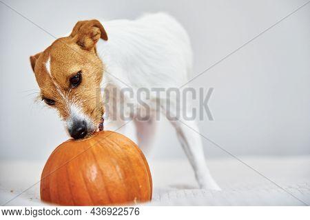 Jack Russell Terrier Dog Gnaw Orange Pumpkin. Funny Pet.