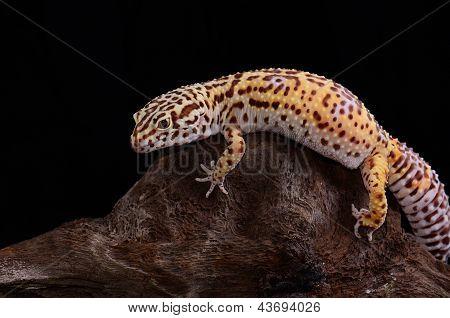 Female Bell Albino Leopard Gecko (eublepharis Macularius)