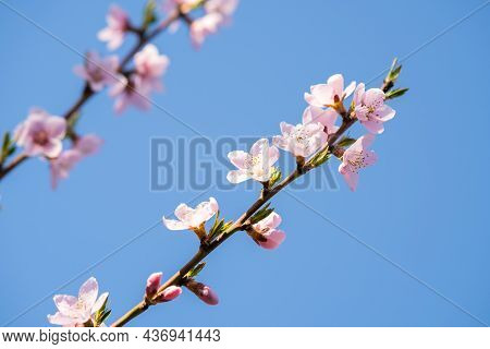 Fruit Tree Twigs With Blooming White And Pink Petal Flowers In Spring Garden.