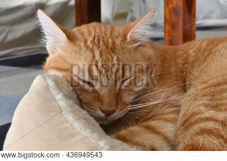 Ginger Cat Sleeping In Cat Bed At Home. Happy Tabby Cat Relaxing In A House.