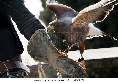 Falcon And Falconer