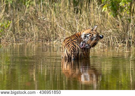Wild Male Tiger Cooling Off In Water With Reflection And Licking Wound By Tongue Out On Forelimb Or
