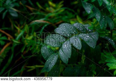 Dew Droplets On Green Leaves. Close Up