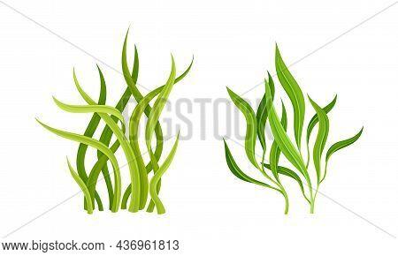 Seaweed Or Macroalgae As Aquatic And Marine Plants Growing On Ocean Bottom Vector Set