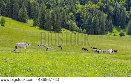 Cattle At Upper Allgaeu Near Immenstadt In Bavaria, Germany
