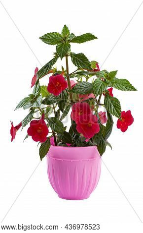 Beautiful Flower Achemenis With Bright Red Flowers In A Pink Flower Pot, Isolated On White.