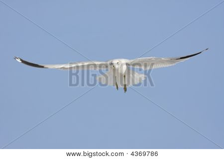 Ring-billed Gull (larus delawarensis) in flight over the beach with a blue sky background poster