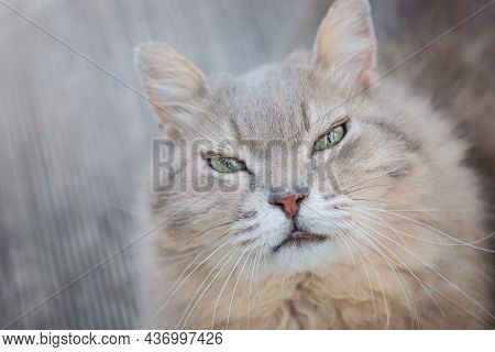 Cat Face Close Up. Front View Of Cat Looking At Camera. Cute Orange White Fluffy Female Kitty With H