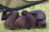 Gorillas under a net laying in the grass taking a siesta poster