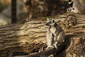 Lemur rings queue  - Lemurs of Madagascar, Bioparco di Roma poster