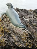 Seal seascape photographed at Looe in Cornwall poster