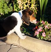 Side view of cute Beagle puppy smelling some pink flowers in the yard poster