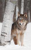 Grey Wolf (Canis lupus) Peers around Birch Tree - captive animal poster