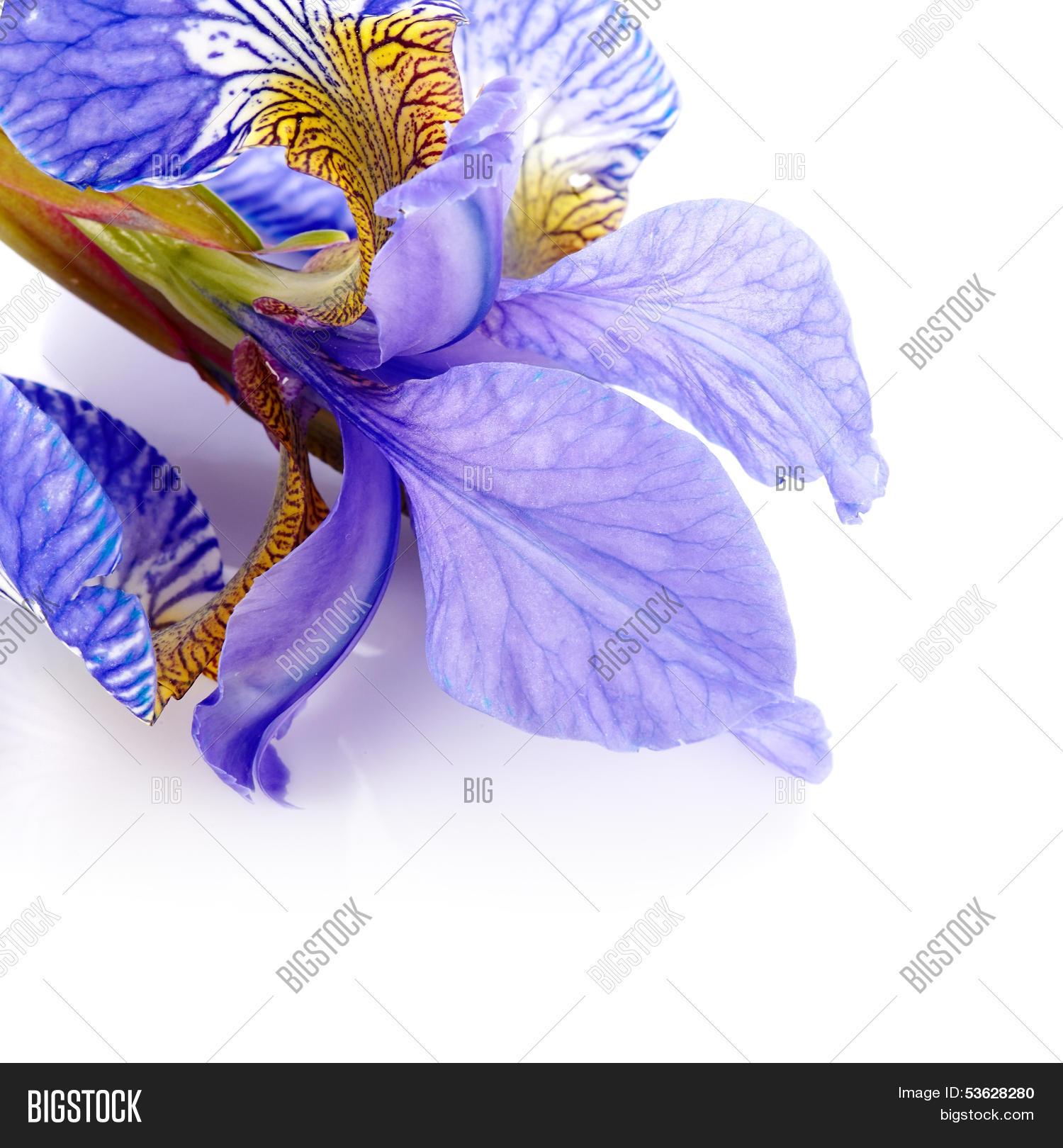 Petals Flower Iris Image Photo Free Trial Bigstock