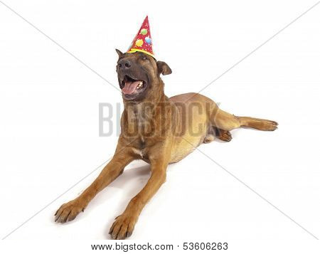 Malinois Sheepdog On A White Background