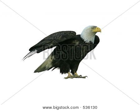American Bald Eagle, Isolated