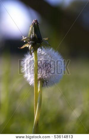 Dandelion - Hug