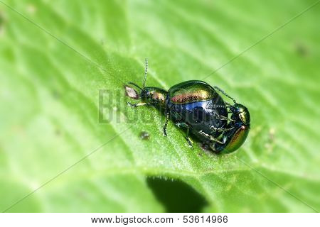 Dock leaf beetle - mating