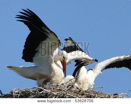 Older stork brings food.