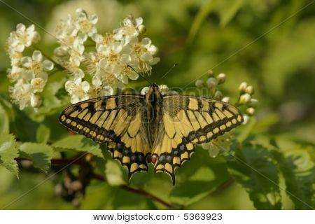 _dsc2635Butterfly Swallowtail (papilio Machaon)