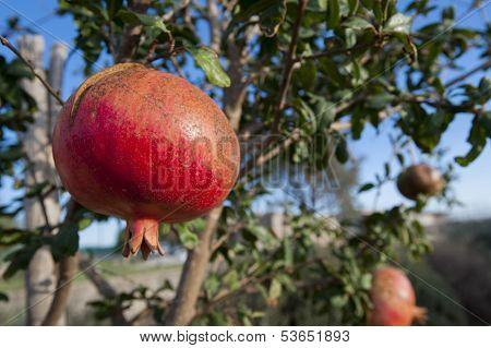 Pomegranate fruit in sicily