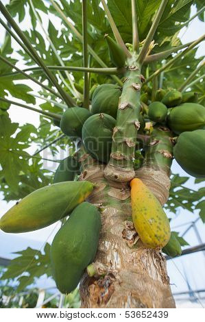 Papaya trees and fruits
