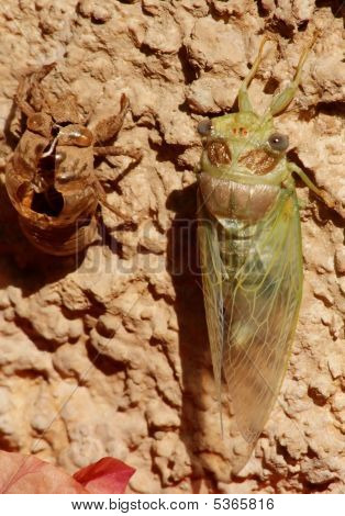 Cicada After Molting