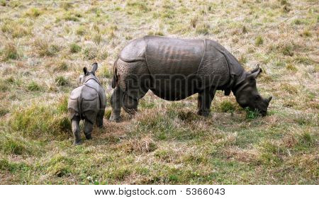 Baby And Mother Indian Rhinoceros