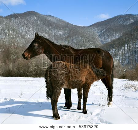 Foal feeding mother's horse during the winter in the mountains poster