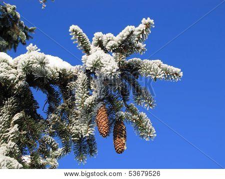 Frozen fir branch 1.