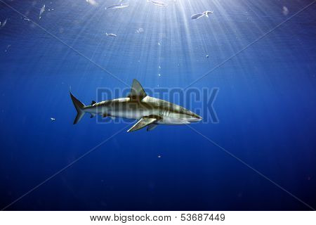 Galapagos Shark sunburst