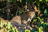 jaguar in the peruvian Amazonian jungle at Madre de Dios poster