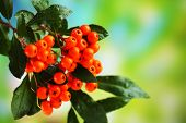 Pyracantha Firethorn orange berries with green leaves, on  bright background poster
