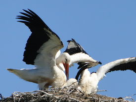 Older stork brings food.