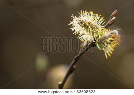 Willow Seed In The Spring