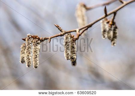 Fluffy Blossom Seed At Springtime
