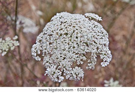 Queen Anne's Lace Flower Daucus Carota