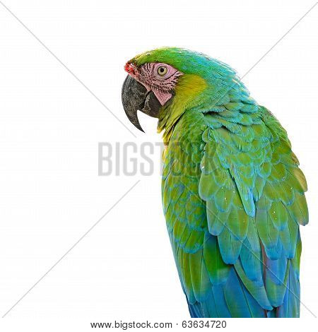 Colorful Macaw, Harlequin Macaw aviary, standing on the log, isolated on a white background poster