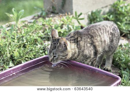 Shorthair tabby cat drinks water