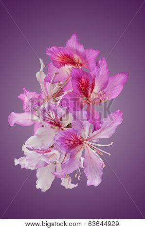 Bahuinia Blakeana Flowers
