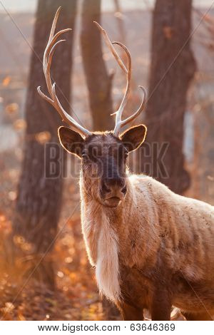 Horned Reindeer at zoo