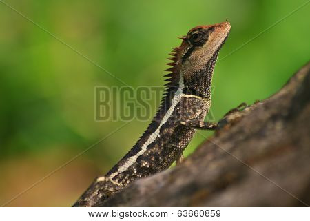 Greater Spiny Lizard