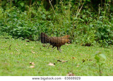 Female Red Junglefowl (gallus Gallus)