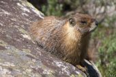 Yellow-bellied marmot (marmota flaviventris) in Tuolumne Meadows (Yosemite National Park) watching the world go by. poster