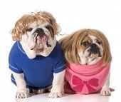 dog couple - english bulldog boy and girl wearing wigs poster