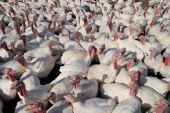 many white domestic turkeys crowded on a farm poster