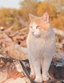 Orange and white tomcat standing on top of a wood pile in late evening sun poster