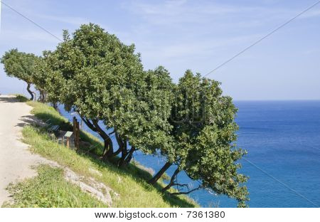 Mastic tree on Akamas peninsula at Latsi area in Cyprus poster